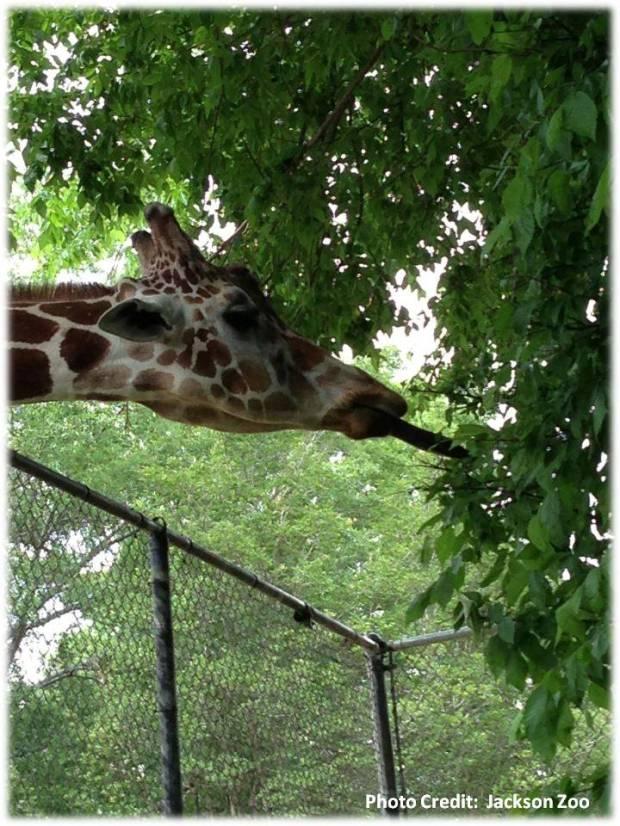 jackson zoo1