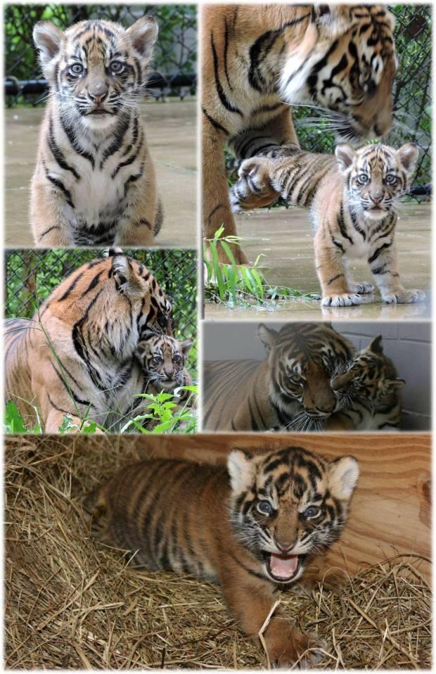 final tiger cub